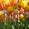 Fototapety tulipáni