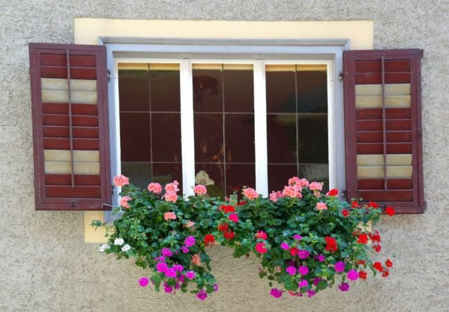 23498979 - geraniums in window box