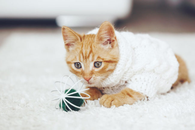 46058522 - cute little ginger kitten wearing warm knitted sweater is playing with pet toy on white carpet